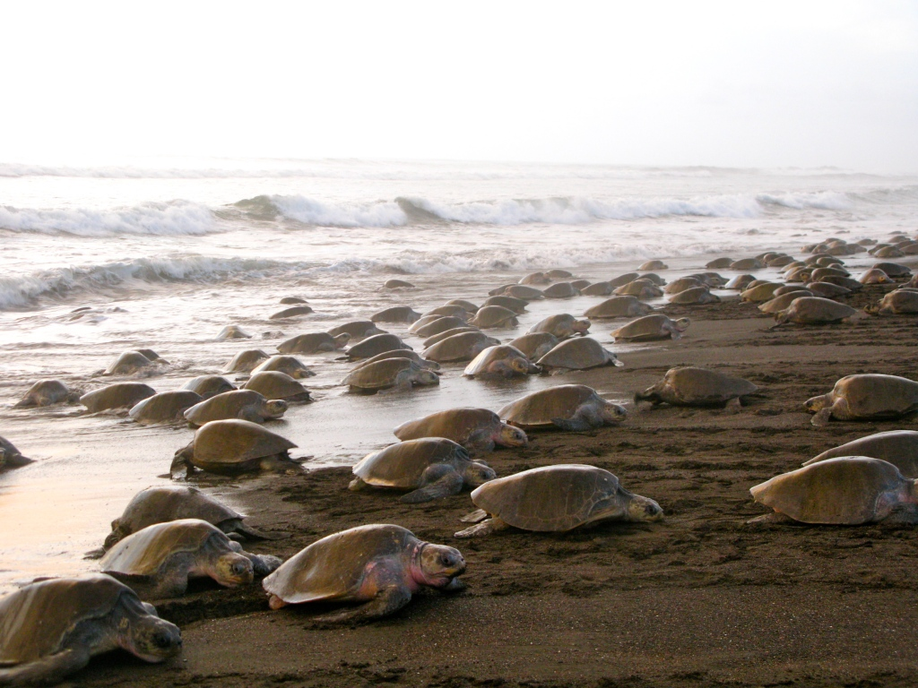 Arrival of the Turtles in Playa Ostional